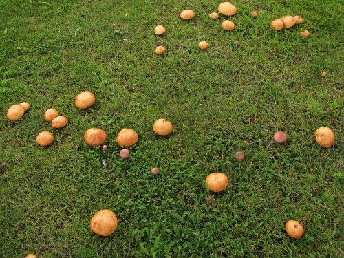 Масленок зернистый (Suillus granulatus), на 17-м фото в компании мокрух пурпуровых (Chroogomphus rutilus). В Питере это довольно редкие гости, а на городских газонах – тем более. Таллин же был летом просто усеян маслятами. Росли едва ли не под каждой второй сосной какими-то нереальными грудами. В парках местные жители, надо сказать, их активно собирали, а вот на газонах и разделительных полосах все это добро оставалось нетронутым. Зрелище впечатляющее Автор фото: Станислав Кривошеев
