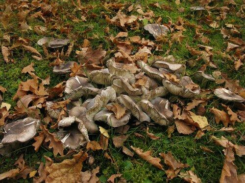 Рядовка серая (Tricholoma portentosum). Иногда этот вид охотно растет и без сосен. Вероятно, образует микоризу с березой Автор фото: Станислав Кривошеев