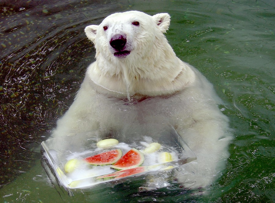 A polar bear snacks on ice cubes and wat