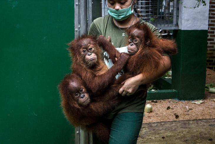 Организация регулярно изымает малышей орангутангов у торговцев животными, которые, в свою очередь, п