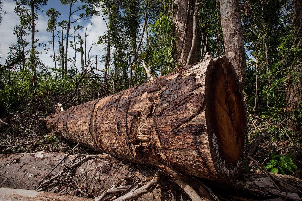 17. Леса уничтожаются и всё засаживается пальмами. (Фото Ulet Ifansasti):