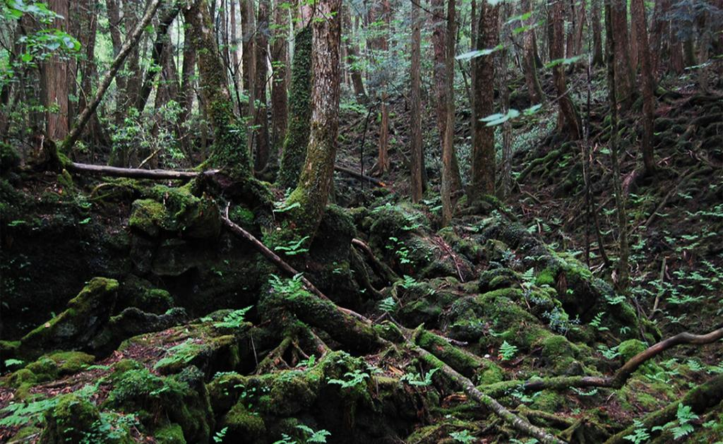 Под мрачные своды этого леса приезжают умирать люди — с 1950 года здесь покончили с жизнью уже неско