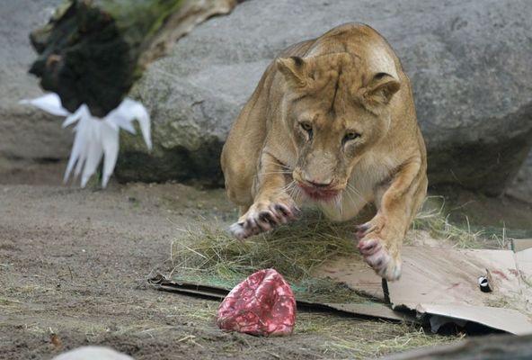 Медведицы Смилия, Альма и Фрида, воспитанницы берлинского зоопарка, увидели что-то блестящее и в