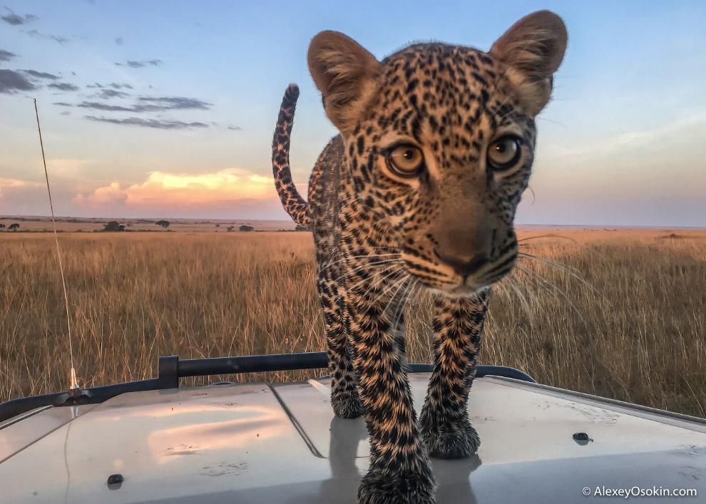 6. Как и львы, леопарды умеют издавать рык, но значительно тише льва. Также леопарды мурчат, ка