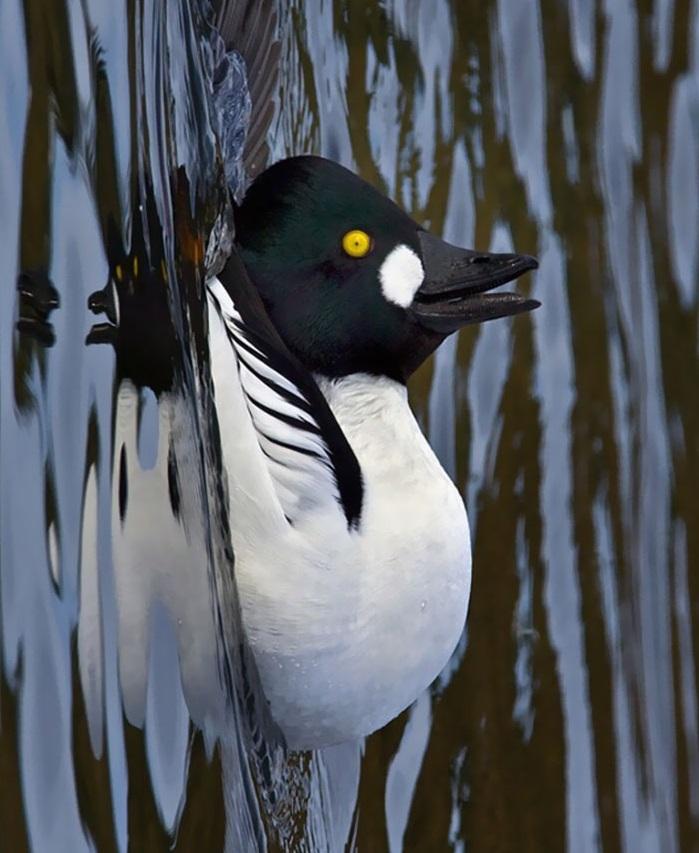 4. Утки — единственные птицы, которые предпочитают не летать на дальние расстояния и перемещаются че