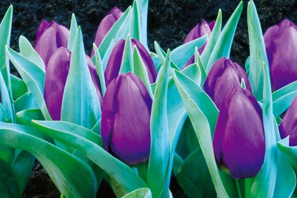 Голландские тюльпаны Baby Blue оптом со скидкой