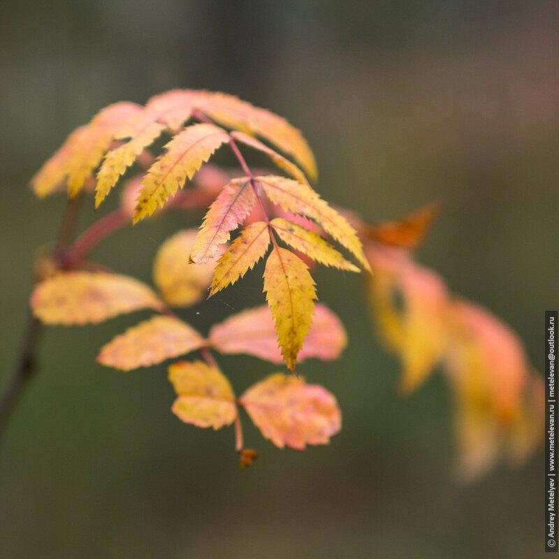 желто-красные листья рябины