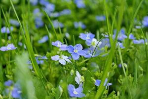 Голубые цветы в изумрудной листве!