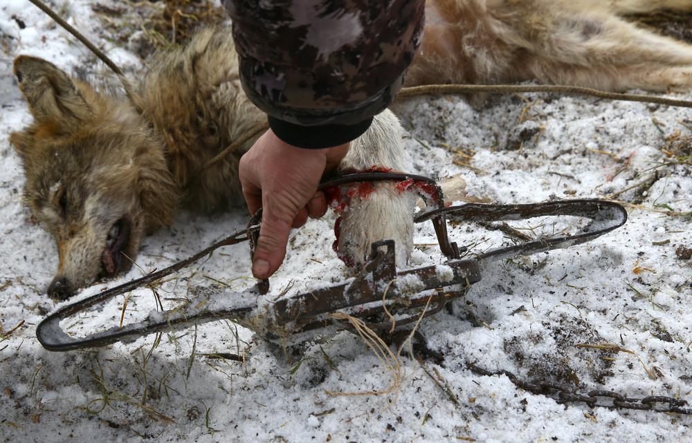 Охота на волков возле Чернобыльской зоны