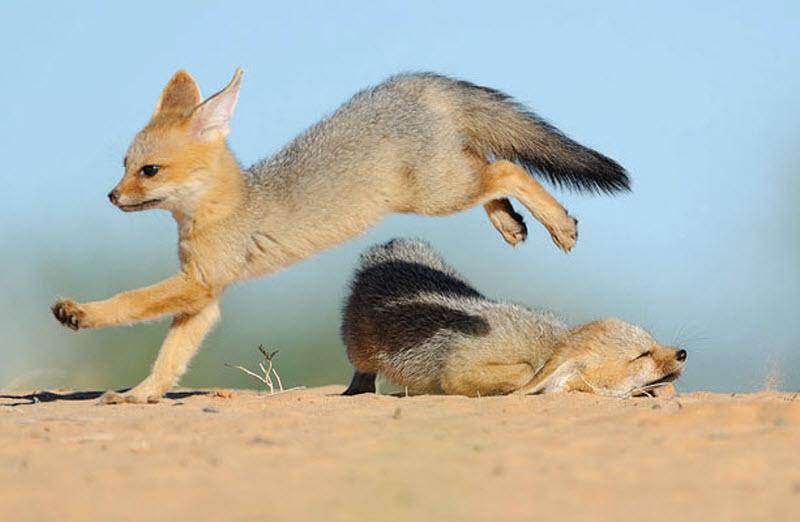 11. Два южноафриканских лисенка резвятся на песке. (HANNES LOCHNER / BARCROFT MEDIA)