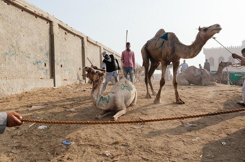 Невзирая на полное истощение, верблюды всё равно не оставляют попыток сбежать и спасти свою жизнь.