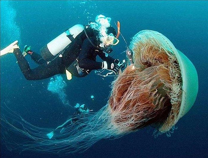 Это огромное животное – самый крупный в мире вид медузы (из всех известных науке). Щупальца самой бо