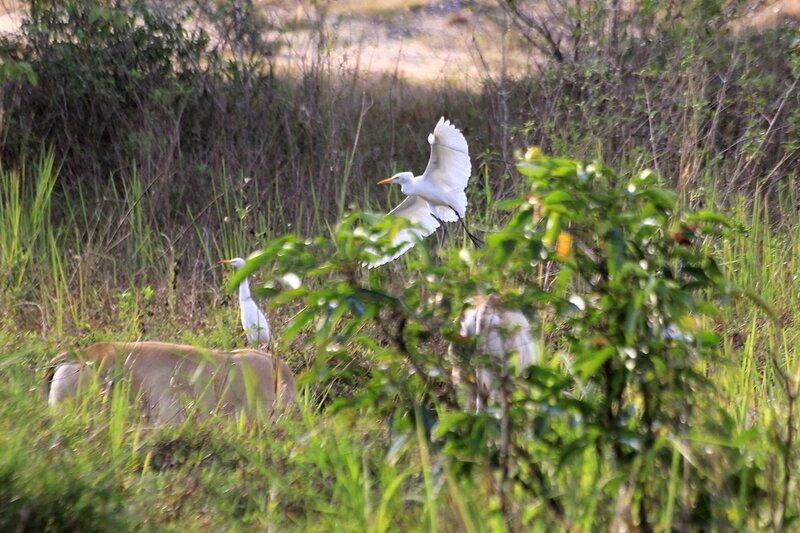 Белая цапля перелетает от одного пасущегося домашнего водяного буйвола другому