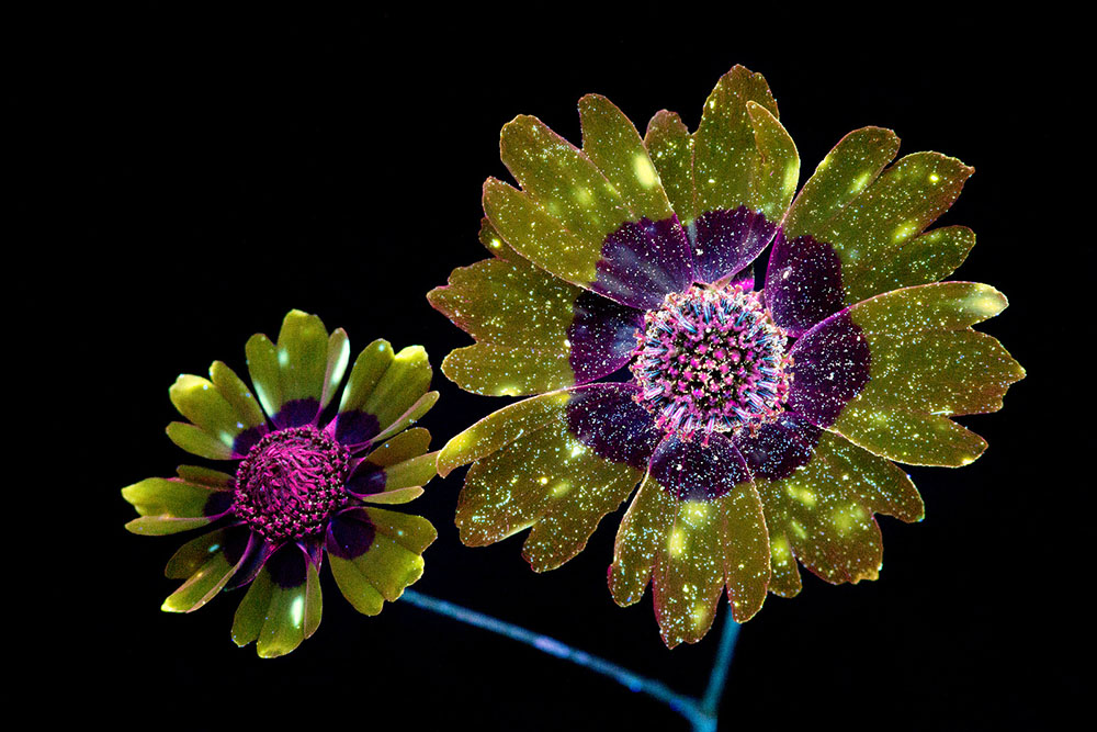 Dazzling Images of Glowing Flowers Photographed With Ultraviolet-Induced Visible Fluorescence (10 pics)