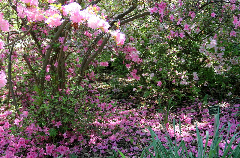 И цветет азалия и опадает..