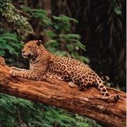 зверь в лесу
