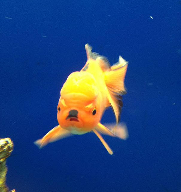 Золотая рыбка — воплощение Гитлера.