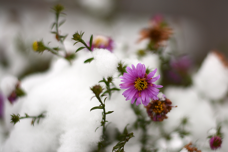 цветы в снегу 8.jpg
