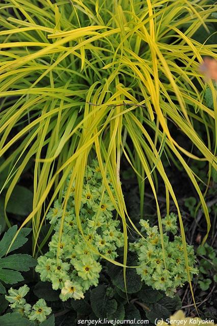 Carex Aurea Primula.JPG