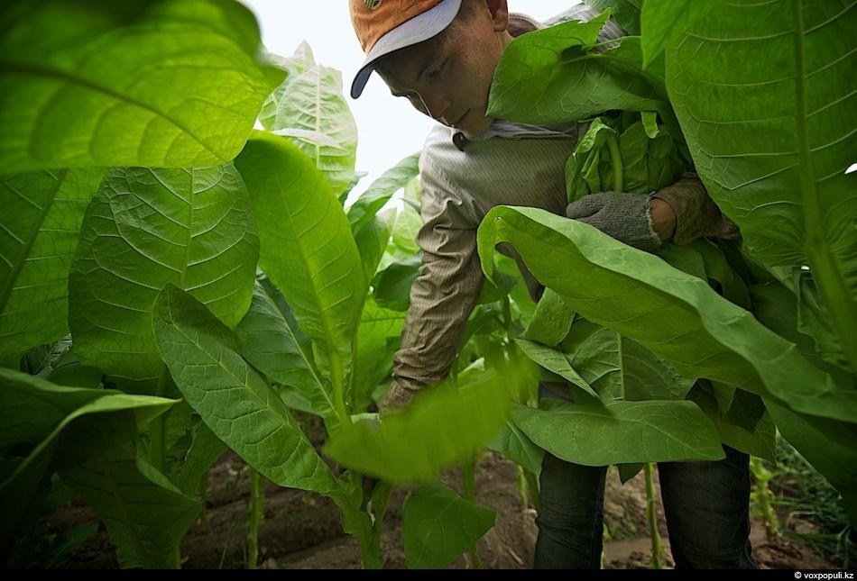 3. Сбор первых табачных листьев начинается с середины июля и продолжается до конца августа, когда ли