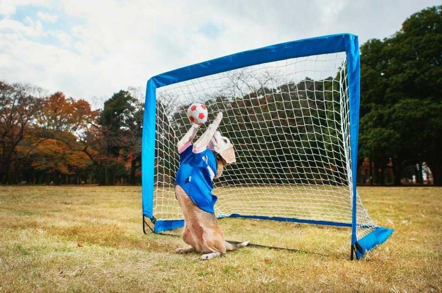 4. 9-летний бигль по кличке Пурин стала рекордсменом по числу мячиков, пойманных лапами — 14 за мину