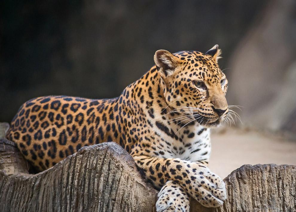Яванский леопард (Panther pardus melas) Он обитает на индонезийском острове Ява, находится на г