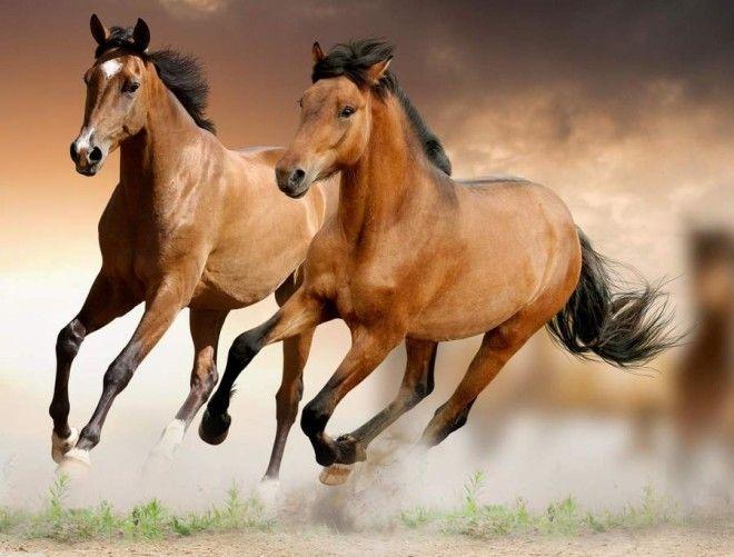 Ахалтекинская лошадь Фотографии этой шикарной лошади удивляют и поражают. Но те, кто такое животное