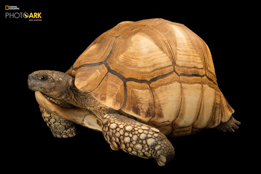 Кампания National Geographic, призывающая бороться за сохранение исчезающих видов животных (11 фото)