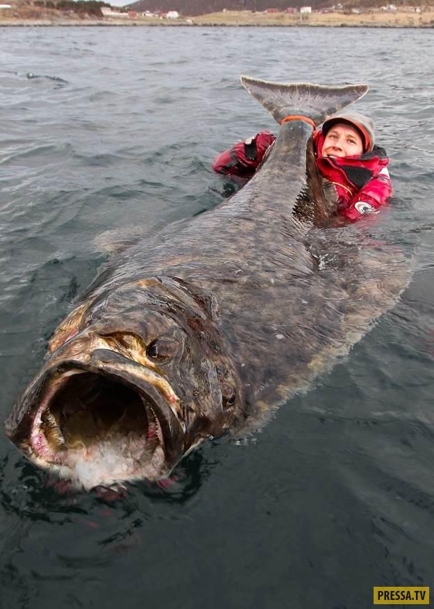 Этого 2-метрового палтуса поймали у побережья Лофотенских островов в Норвегии. Он был слишком больши