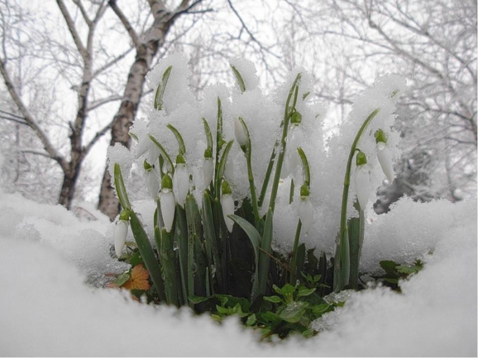 весна-подснежник-6.jpg