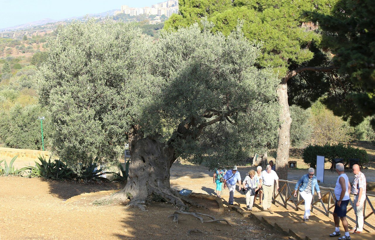 Agrigento. Valley of the temples. Olive tree of the temple of Juno
