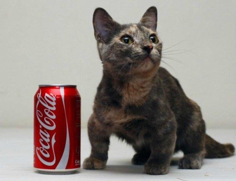 Звезда Интернета: самый маленький кот в мире