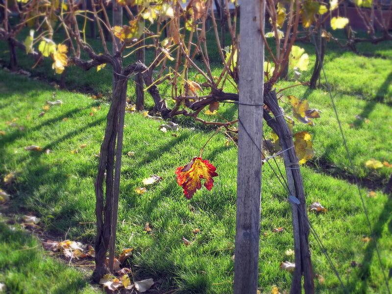 20. Интересно, что когда рядом растут все сорта винограда, хорошо видно, что они созревают в разные