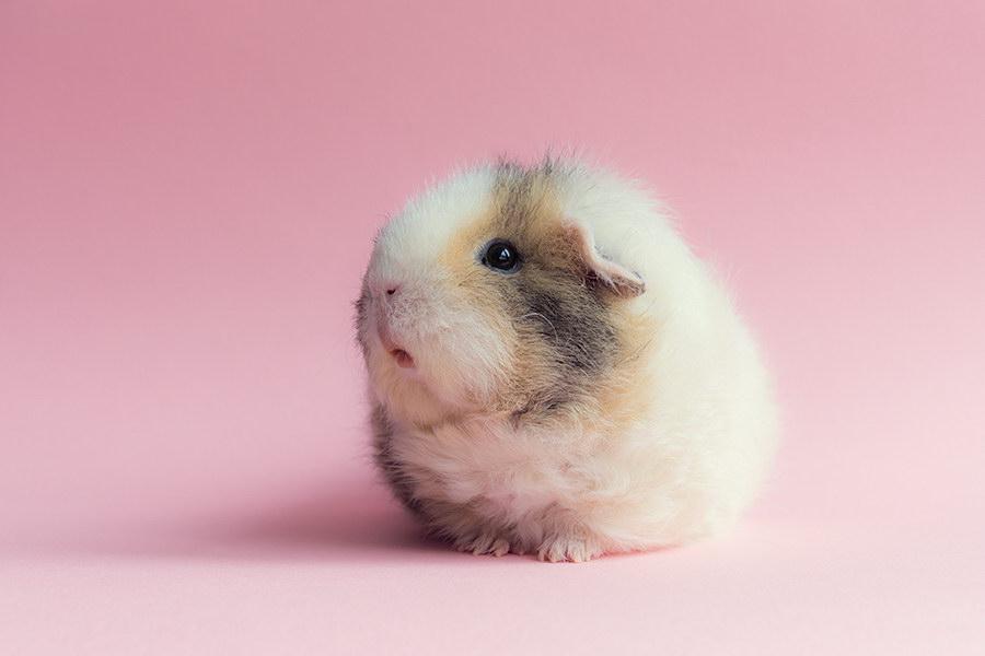 Cамая стильная и гламурная морская свинка