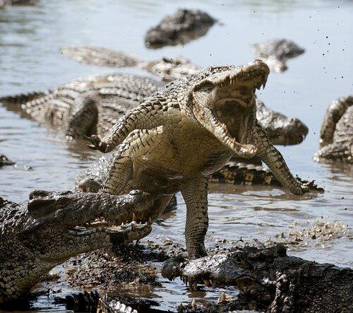 Крокодилья атака