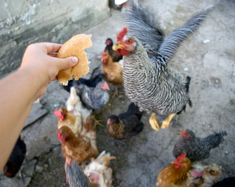 chickens_jumping_for_bread_by_0_vla_0-d4f8nbn.jpg