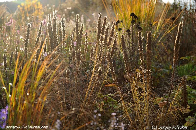 Liatris spicata Floristan Violett (8).jpg