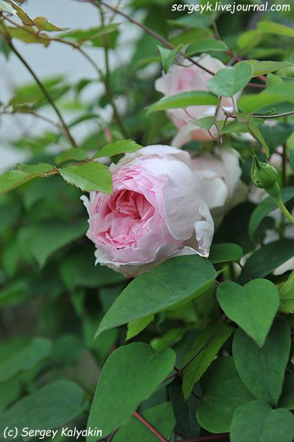 Rosa The Wedgwood Rose (12).JPG