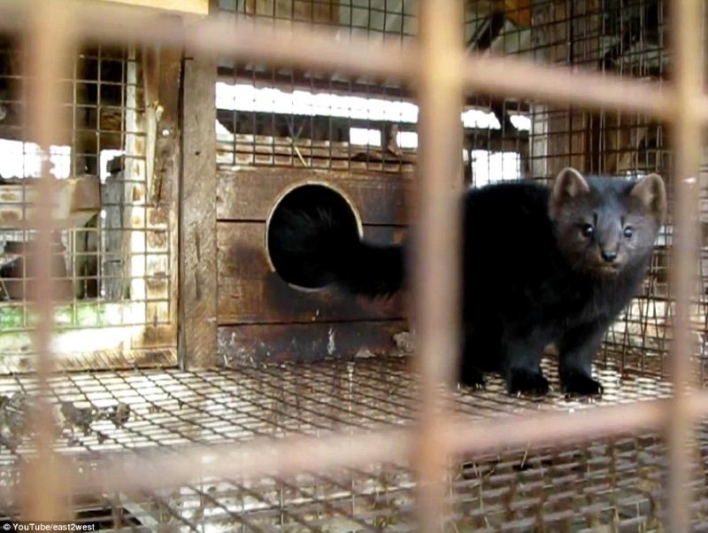 Вот какой ужас происходит на российских меховых фермах. Обратная сторона норковой шубы!
