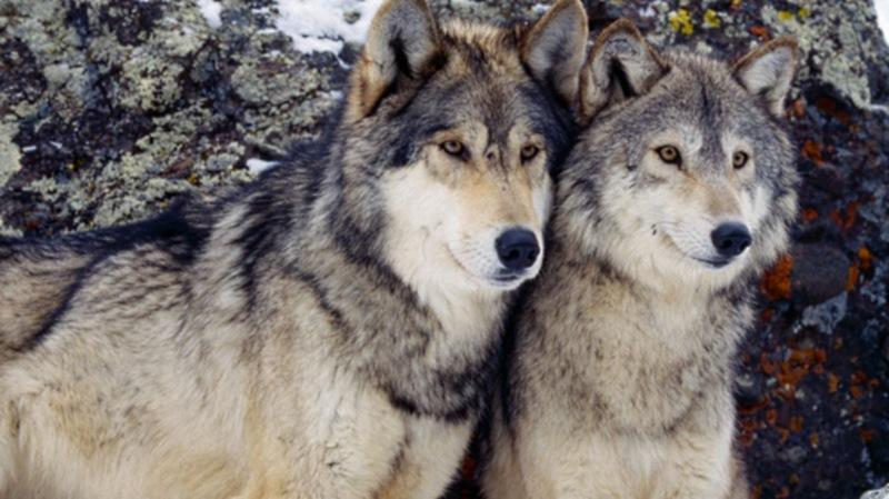 Вот такие интересные отношения царят среди волков. Поделись с друзьями этими знаниями, им будет инте