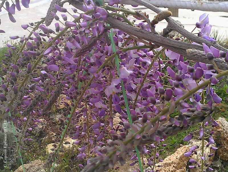 Расцветает глициния (2)