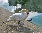 Лебедь голубя спасет,если тот тонуть начнет!