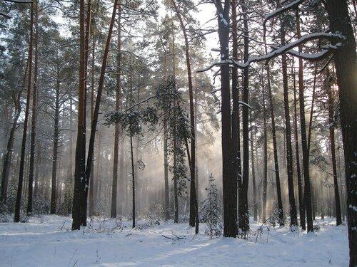 Снежная дымка в сосновом бору