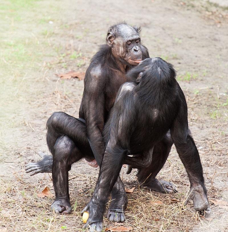 Bonobo sexual behavior. Бонобо ебутся как человеки