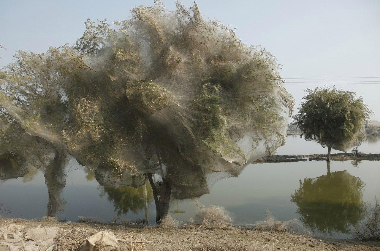 Нашествие пауков в Пакистане