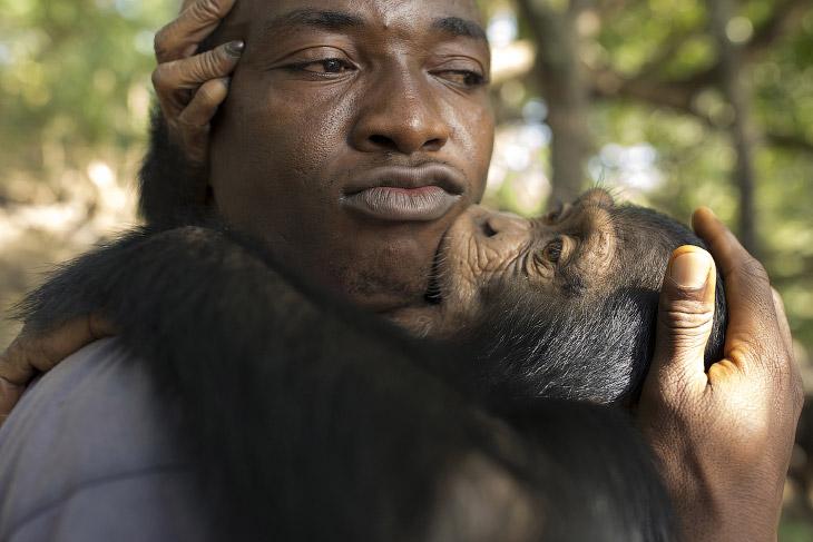 1. Большинство шимпанзе здесь являются осиротевшими, их родители пострадали от браконьеров и то