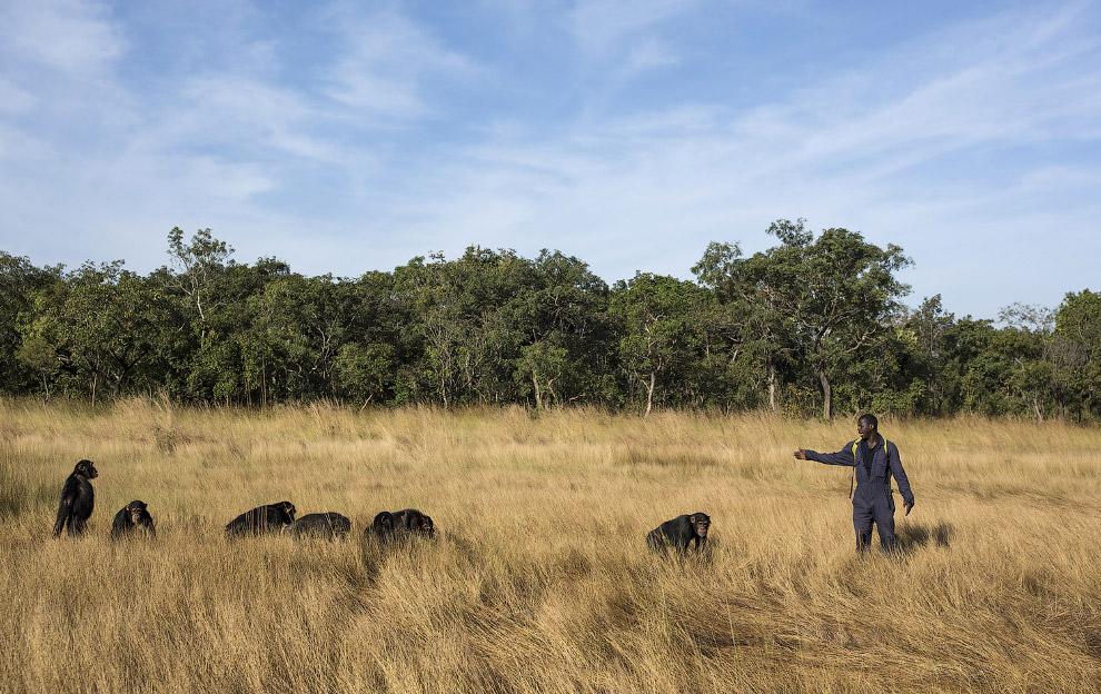 15. Кстати, герои известного фильма «Планета обезьян» тоже шимпанзе. (Фото Dan Kitwood):
