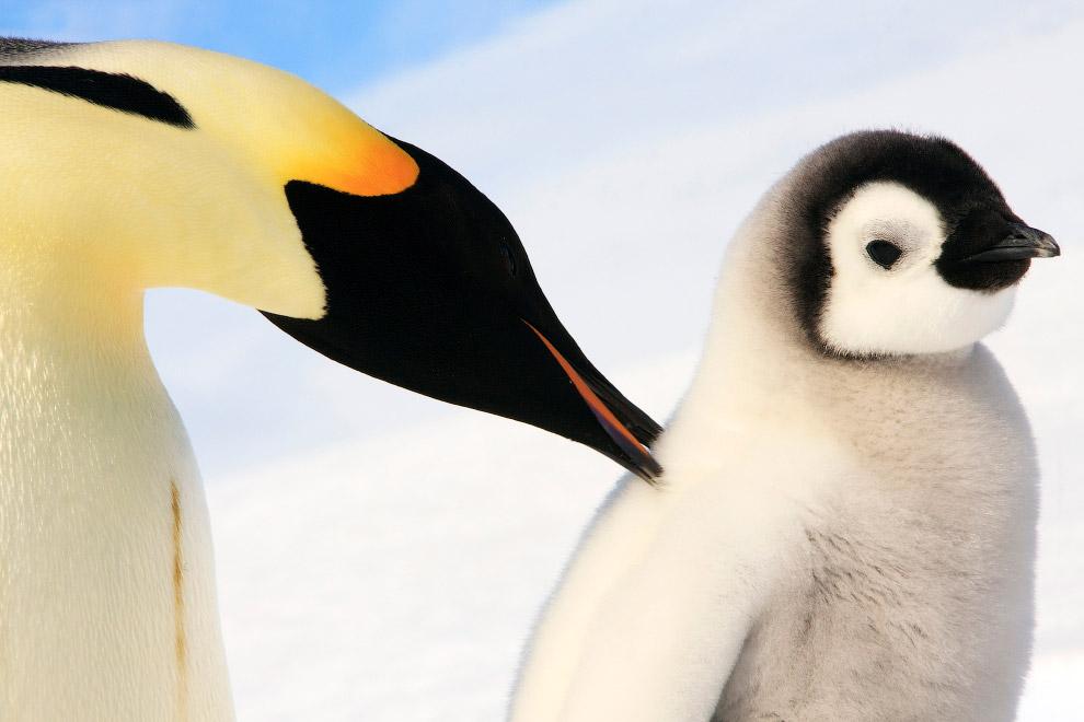 7. Созерцание прекрасного. Предки пингвинов жили в умеренном климате — когда Антарктида еще не