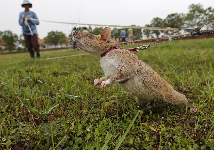 1. Знакомьтесь, это гигантские гамбийские крысы (Cricetomys gambianus), весящие до 2,8 кг при д