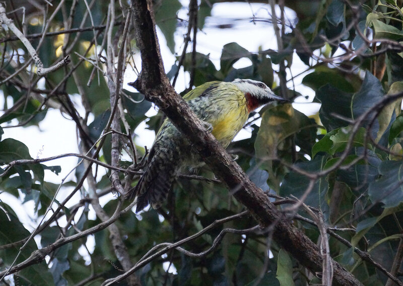 Кубинский зеленый дятел - The Cuban green woodpecker (Xiphidiopicus percussus)